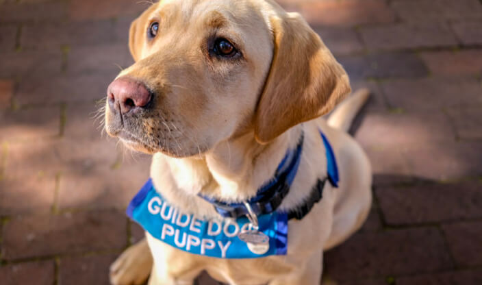 Image of Guide Dog